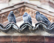 Three Pigeons In A Row
