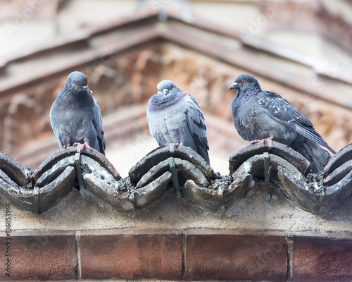 Three Pigeons in a Row Wall mural