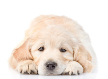 Puppy Put  Head Between  His Paws. Isolated On White Background