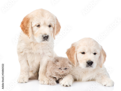 Spoed Foto op Canvas Hond Tiny kitten lies between two golden retriever puppies. isolated on white