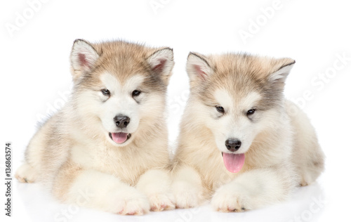 Two alaskan malamute puppies lying in front view. isolated on white