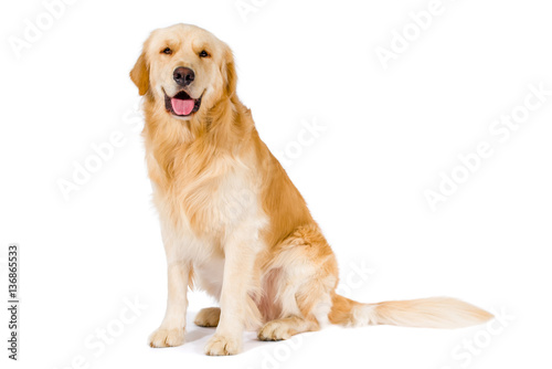 Fototapeta Golden Retriever adult sitting smiling at camera isolated