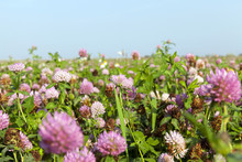 Agricultural Field With Clover
