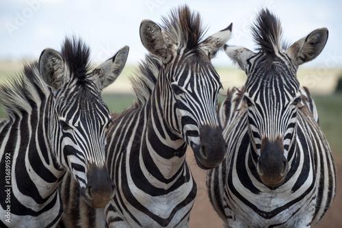 Staande foto Zebra Three young zebra
