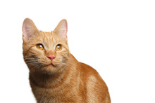 Portrait Of Satisfied Ginger Cat Stare Up On Isolated White Background, Front View