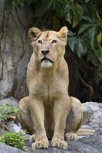 Cadres-photo bureau Puma Image of a female lion on nature background. Wild Animals.