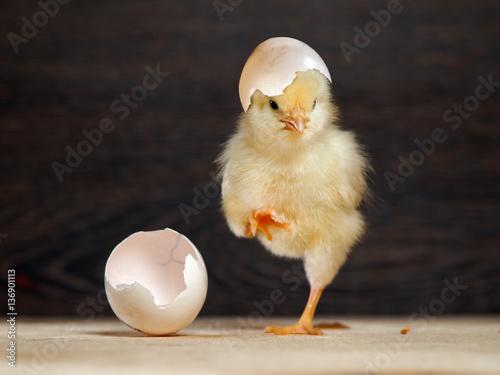 Slika na platnu Newborn chick. The shell of the egg. Funny and cute chick