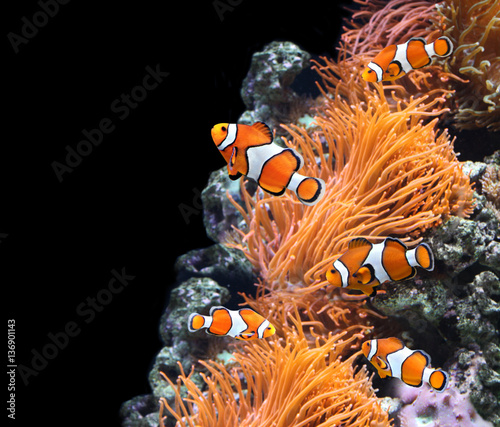 Tuinposter Onder water Sea anemone and clown fish