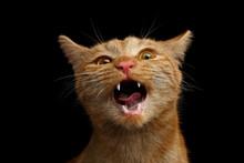 Portrait Of Singing Ginger Cat...