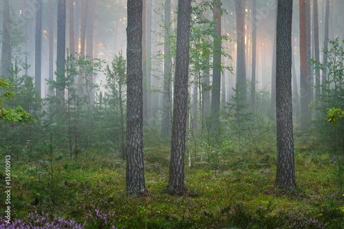 Fototapeten Wald Foggy sunrise in the beautiful deciduous forest in Latvia.