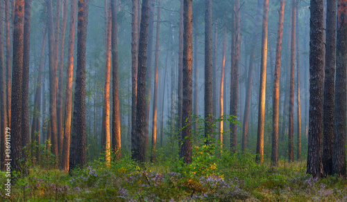 Recess Fitting Bamboo Foggy sunrise in the beautiful deciduous forest in Latvia.