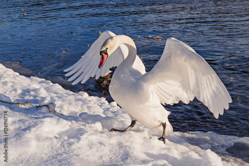 Wild swan in fighting pose Canvas-taulu