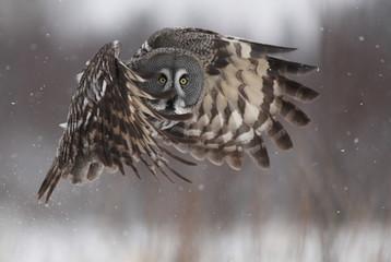 Female Great grey owl (Stri...