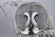 Female Great Grey Owl (Strix N...