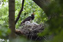 Black Stork (Ciconia Nigra) At Nest Calling, Eastern Slovakia, Europe, June 2009