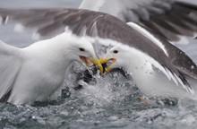 Two Greater Black Backed Gulls (Larus Marinus) Fighting, Flatanger, Norway, June 2008