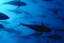 Atlantic Bluefin Tuna Swimming Underwater, Malta