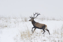 Red Deer (Cervus Elaphus) Male Running In Snow, Bieszczady Mountains, Eastern Carpathians, Poland