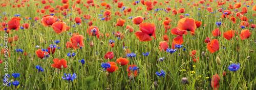panorama of wild poppies
