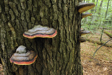 Bracket Fungi Growing In Old-growth Beech Forest In A WWF Reserve Near Piatra Craiului National Park, Southern Carpathians, Rewilding Europe Site, Romania