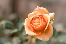 Close Up Orange Rose Blooming In Garden Valentine Day.