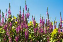 Purple Loosestrife Destroying Wetlands Habitat In New York State