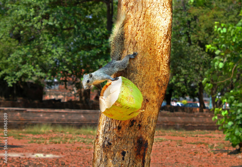 Fotografie, Obraz  Squirrel or small gong, Small mammals native to the tropical forests at Thailand