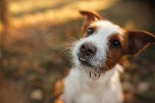 Cute Dog Portrait In Autumn Ou...