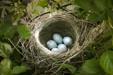 Small Nest With Five White Eggs