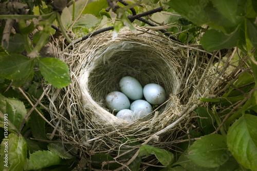 Fototapeta small nest with five white eggs obraz