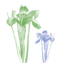 Photo Realistic Illustration Of An Iris In Two Color Schemes