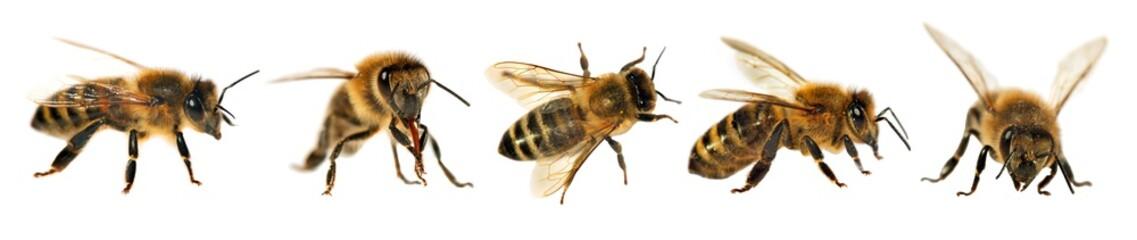 skupina pčela ili medonosnih pčela, Apis Mellifera