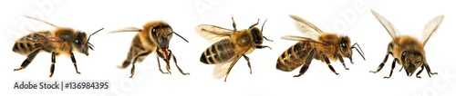 Photo group of bee or honeybee, Apis Mellifera