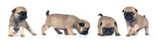 Four Pug Puppies Portrait