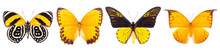 Set Of Four Beautiful Colorful Butterflies Isolated On White.