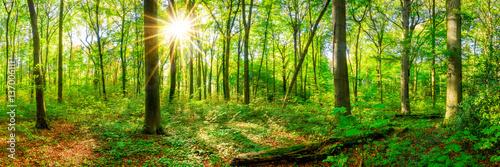 Fototapeten Wald Wald Panorama im Frühling mit Sonne