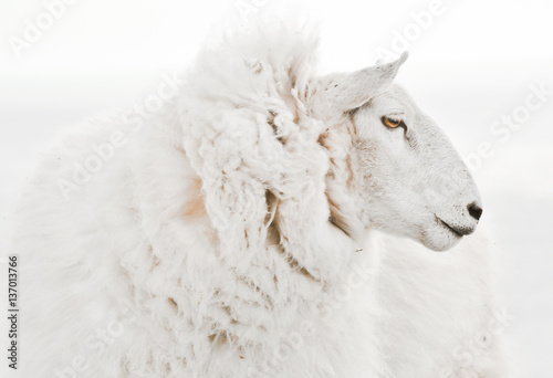 Beautiful isolated ewe sheep portrait close up on white background.Profile view without ear tags. One of the most popular farm animals in Scotland, Australia, NZ and Ireland for wool and meat produce