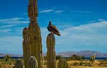 Turkey Vulture Perched On Sagu...