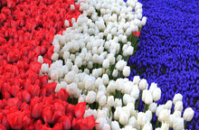 Holland Flag Formed From Flowers: Red And White Tulips And Blue Hyacinth.