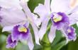 Cattleya Labiata flowers bloom in spring adorn the beauty of nature