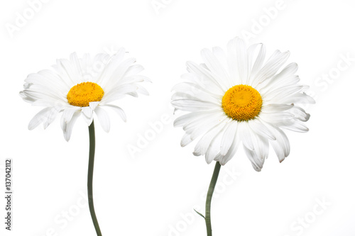 In de dag Madeliefjes Floral wallpaper. Beautiful white daisy flowers