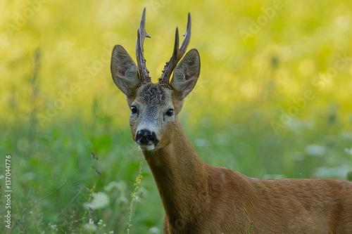 Papiers peints Roe trophy roe deer portrait
