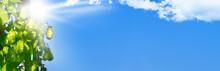 Hopfen, Blauer Himmel Und Sonne