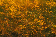 Backlit Prairie Grass