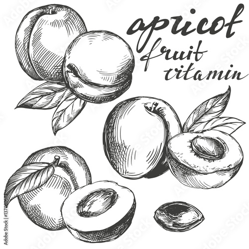 Fotografija apricot fruit set hand drawn vector llustration realistic sketch