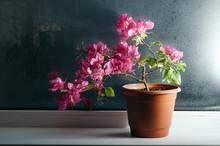 Pink Bougainvillea Growing In ...