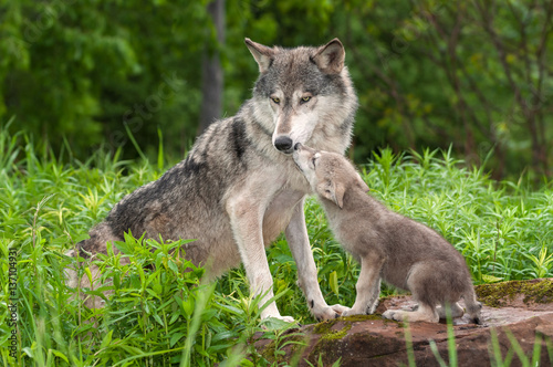 Grey Wolf (Canis lupus) Unwanted Pup Attention Canvas Print