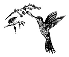 Drawing Little Bird Hummingbirds And Flowering Branch, Hand Drawn Sketch Vector Illustration
