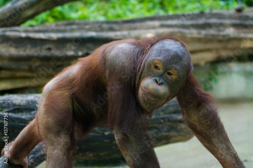 In de dag Aap Smiling orangutan is walking in the paddock in zoo