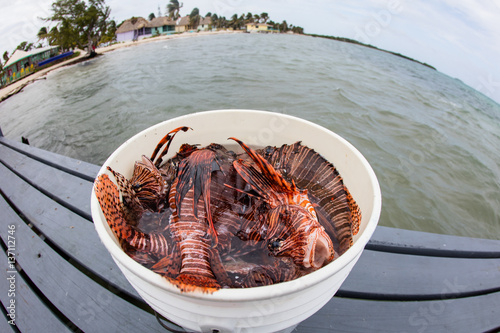 Fotografia, Obraz  Bucket of Invasive Lionfish in Caribbean Sea